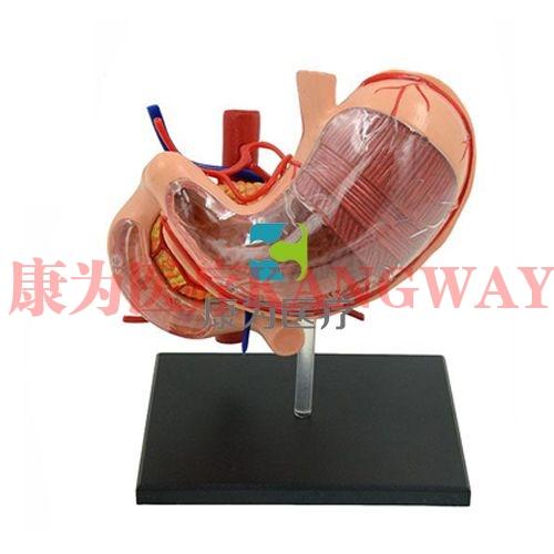 """""""康为医疗""""人体胃解剖万博app最新版"""