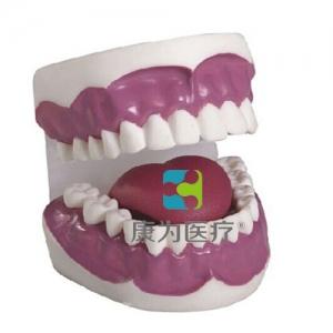"""""""康为医疗""""牙护理保健万博app最新版(28颗牙)(放大3倍)"""