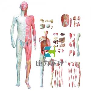 """""""康为医疗""""人体全身层次肌肉解剖万博app最新版"""