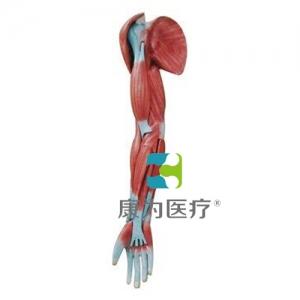 """""""康为医疗""""上肢肌肉解剖万博app最新版"""