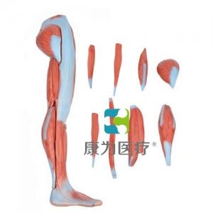 """""""康为医疗""""下肢肌肉解剖万博app最新版"""