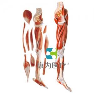 """""""康为医疗""""下肢肌肉附主要血管神经万博app最新版"""