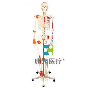 """""""康为医疗""""人体骨骼附关节韧带和肌肉着色万博app最新版"""