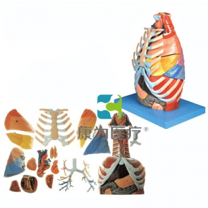 """betvlctor26伟德医疗""胸腔解剖BETVICTOR伟德网址"