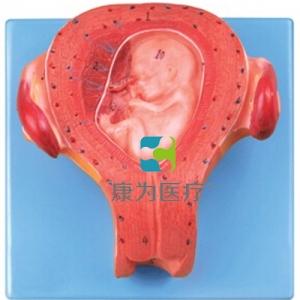"""""""康为医疗""""三个月胚胎万博app最新版"""