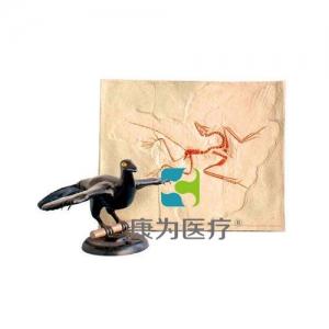 """""""康为医疗""""始祖鸟化石及复原万博app最新版"""
