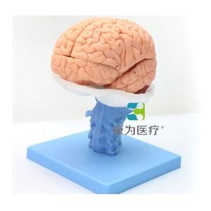 """betvlctor26伟德医疗""伟德国际betvicror人体大脑解剖BETVICTOR伟德网址"